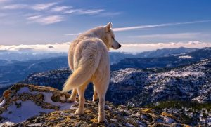 Loup panorama
