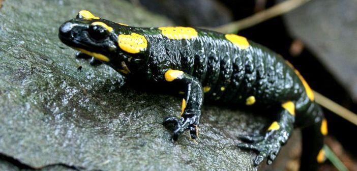 Ognisty jaszczur gór i pogórza! Ile wiesz o Salamandrze plamistej?