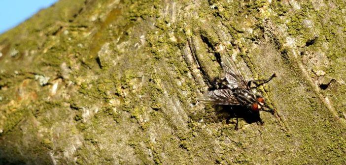 Ścierwica mięsówka – muchówka, która wcale się padliną nie żywi!