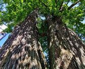 Jedno z najokazalszych drzew na Dolnym Śląsku – lipa z Unisławia Śląskiego!