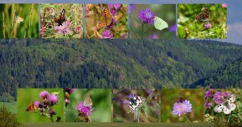"""Apollo i spółka – motyle Rezerwatu """"Kruczy Kamień"""" w Górach Kamiennych [GALERIA]"""