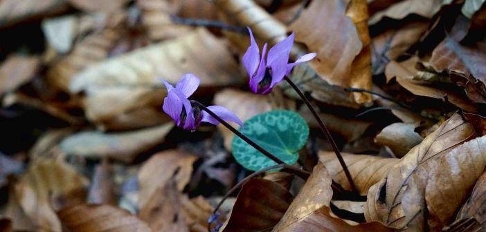 Jeden z najrzadszych gatunków w Polsce – cyklamen purpurowy! Żyje tylko na jednym sudeckim szczycie …