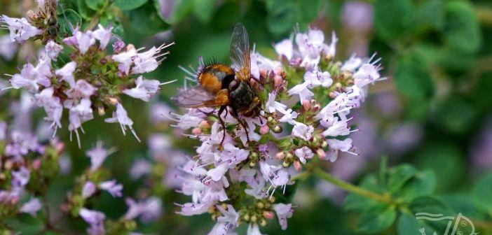Rączyca rdzawa – popularna muchówka polan, łąk i ogrodów!