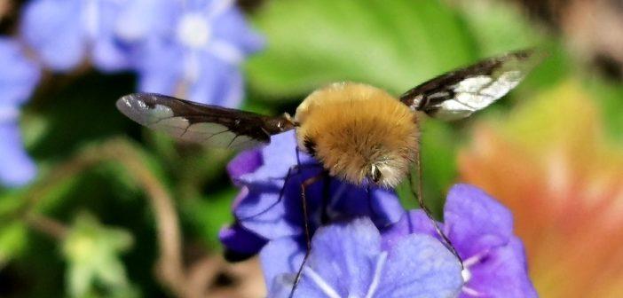 Mucha-koliber z naszych łąk i ogrodów – bujanka większa!