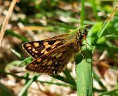 Kosternik palemon – leśny karzełek pośród motyli