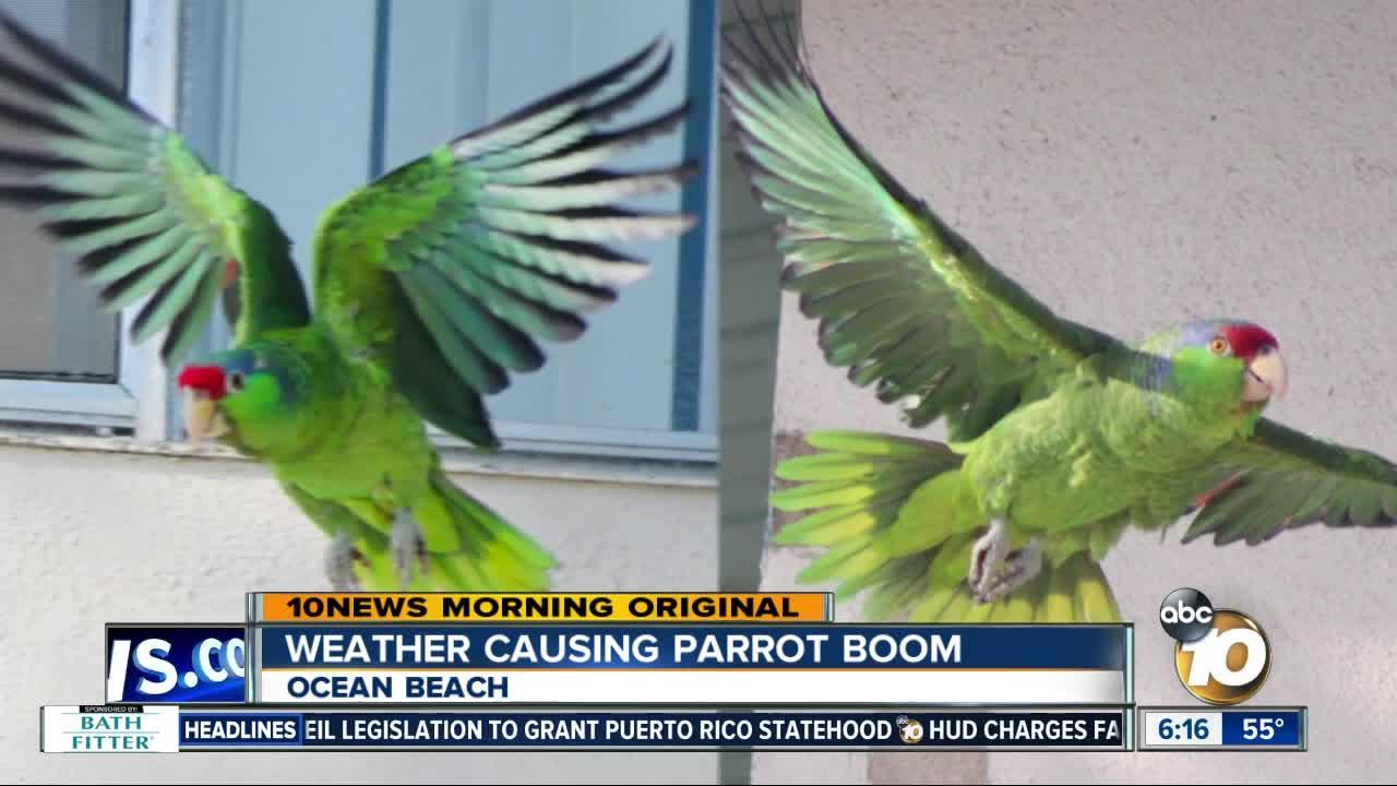 how the wild parrots