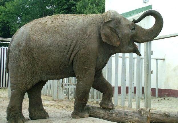 Слонисі Тенді з Харківського зоопарку – 21 рік!