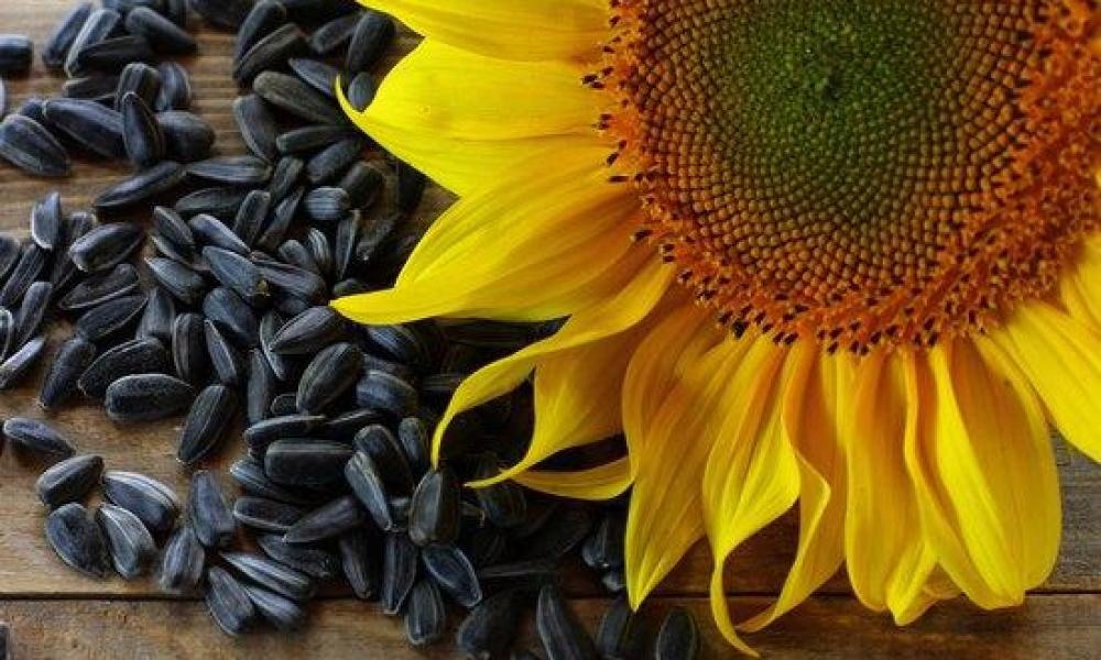 Харківщина отримала рекордний врожай соняшнику