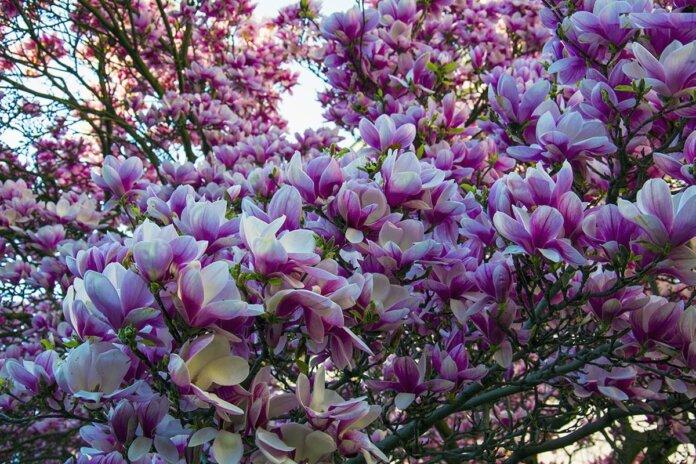 В Ботанічному саду квітнуть магнолії