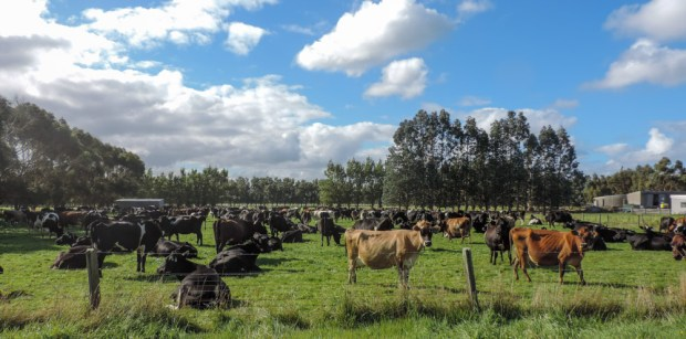Cattle in the Catlins