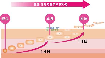28 ngày tái tạo mô và ngăn ngừa sẹo của Attonon Kobayashi