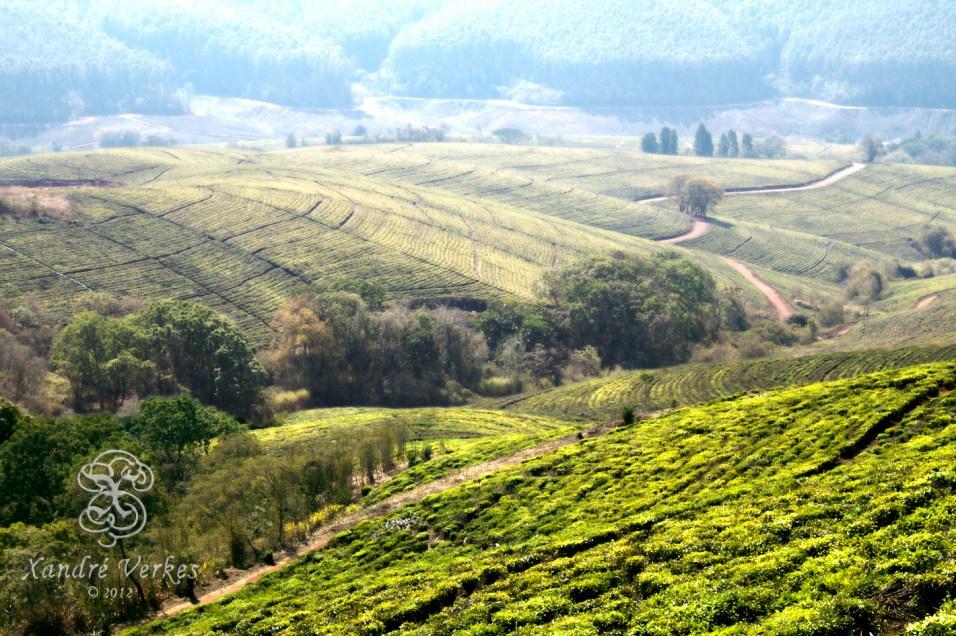 Pekoe Tea Plantation (Magoebaskloof, South Africa)