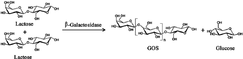 Figure-2-Simplified-enzymatic-reaction-to-produce-Galacto-oligosaccharides-GOS-from.png
