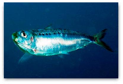 vivos_sardina-2