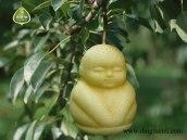 buddha-pear (2)