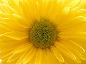 gele bloem
