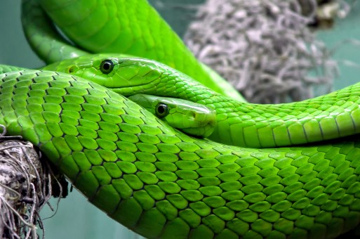 gifgroene slangen