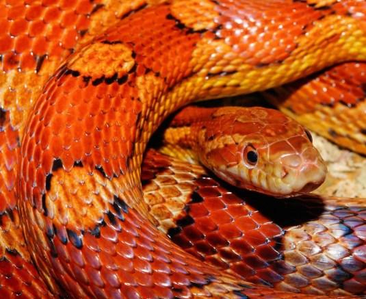 slang oranje