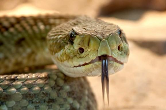 slangenkop tong