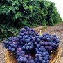 Beautiful Grapes In The Garden Xemanhdep Photos Awesome