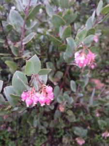Arctostaphylos 'John Dourley' xera plants