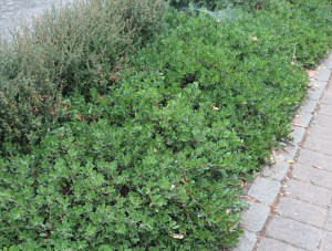 Arctostaphylos media 'Martha Ewan'