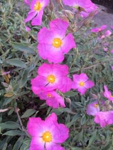 Cistus 'Jester' xera plants