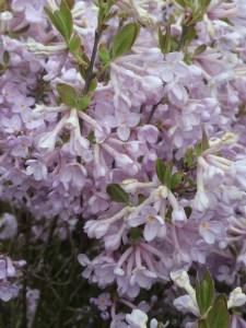 Daphne genkwa xera plants