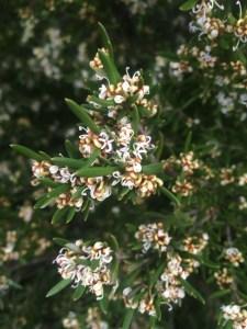 Grevillea australis xera plants