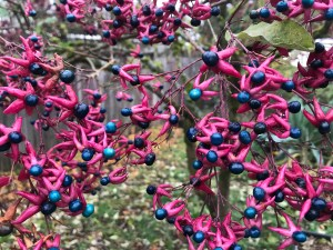 Clerodendrum trichotomum xera plants