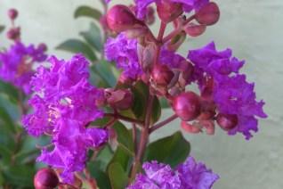 Lagerstroemia indica 'Catawba' xera plants