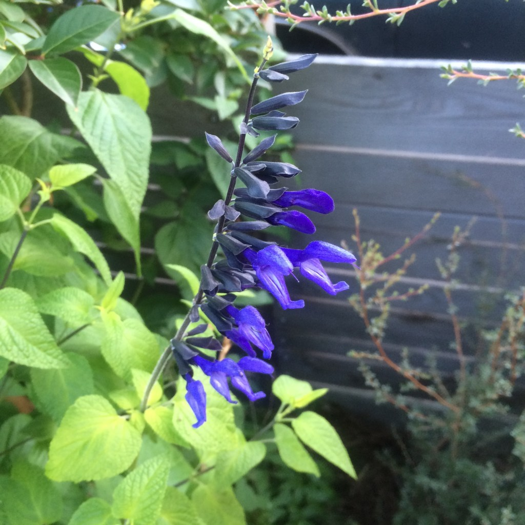 Salvia Guaranitica Black And Blue Xera Plants