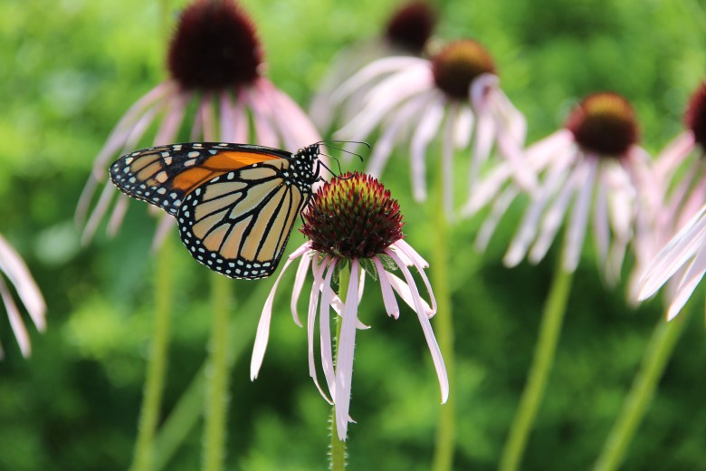 """""""The monarch may be America's best-known butterfly. In December, the U.S. Fish and Wildlife Service announced that, despite significant losses in numbers, it would not protect the monarch under the Endangered Species Act. (Photo: Jennifer Hopwood.)"""""""