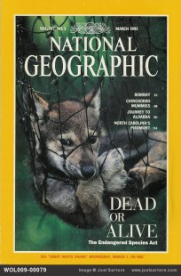 The cover of the March, 1995 issue of National Geographic Magazine shows juvenile red wolf (endangered) netted for study and release. (Image ID: WOL009-00079)