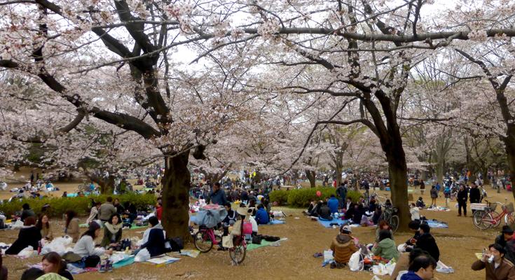 hanami maravillas japonesas
