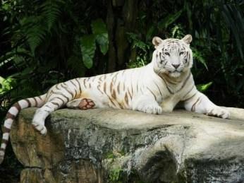 white-tiger-singapore-zoo-1