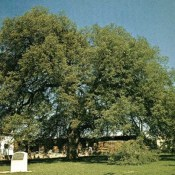 Treaty Oak