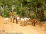 Goat herd.