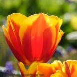 KSM-20160408-Tulip_Day-11