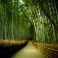 Bosque de bambú de Japón
