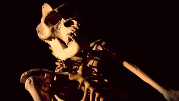 Esqueleto de chimpancé - Evolución en acción