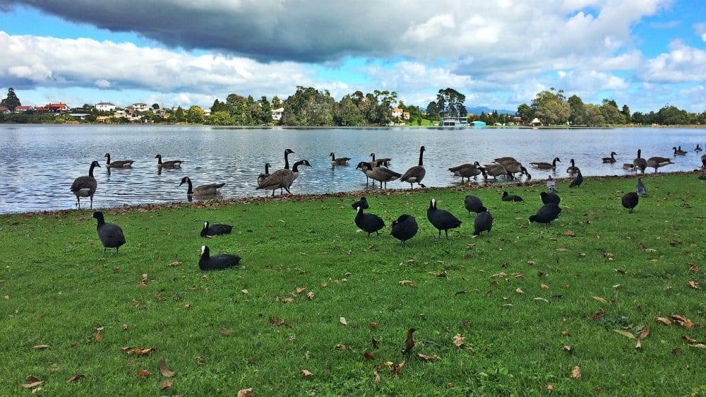 Pukekos y cisnes en el Hamilton Lake
