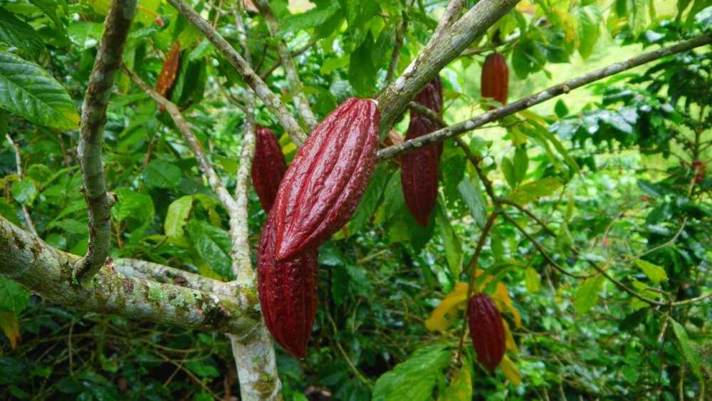 Árboles de cacao - Finca la Alsacia - Buenavista, Colombia