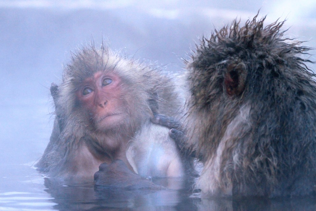 Japanese macaque, snow monkeys (<i>Macaca fuscata</i>). Nagano, Japan