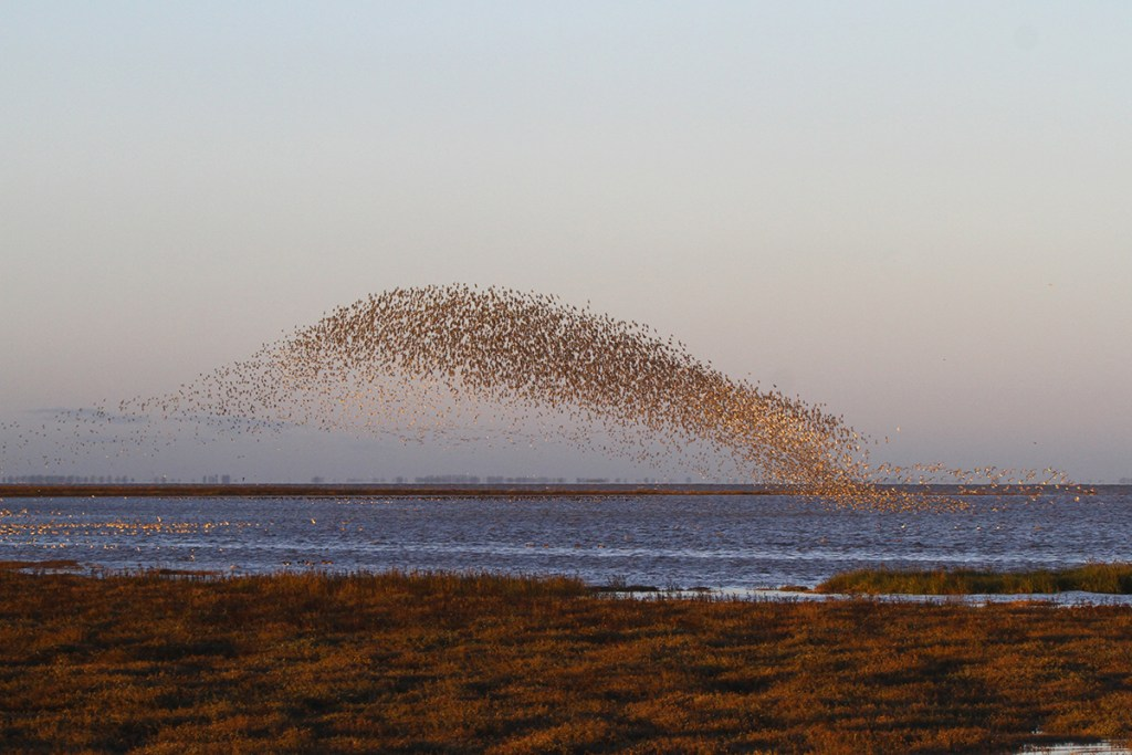 Migrating knots (<i>Calidris canutus</i>). Snettisham, Norfolk