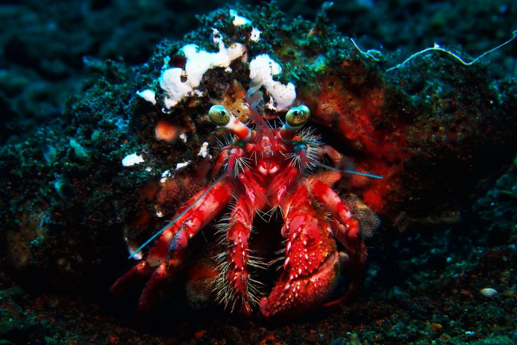 Hermit crab. Amed, Bali, Indonesia.