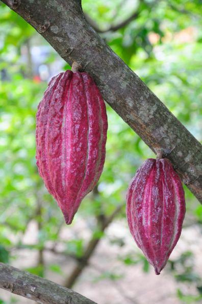 Cocoa @ Handunugoda Tea Estate