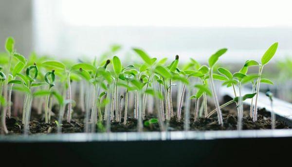 Как вырастить рассаду томатов по китайской технологии