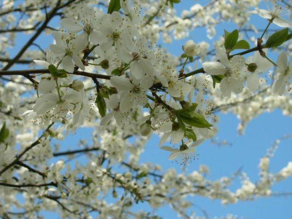 Уход за яблонями весной