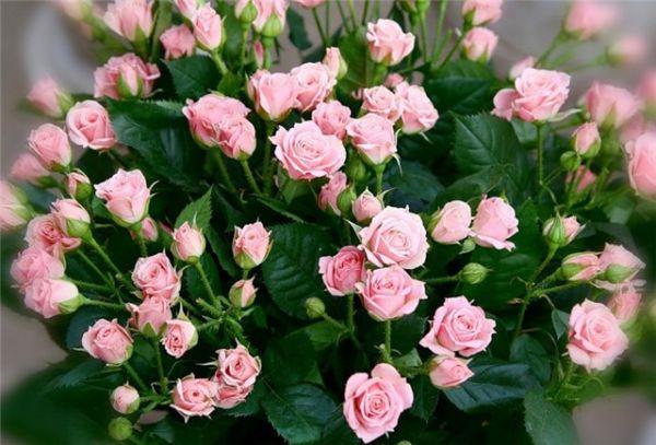 Необычный способ укоренения роз. Работает на 100%